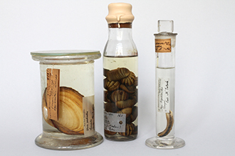 Historical mollusc samples stored in alcohol