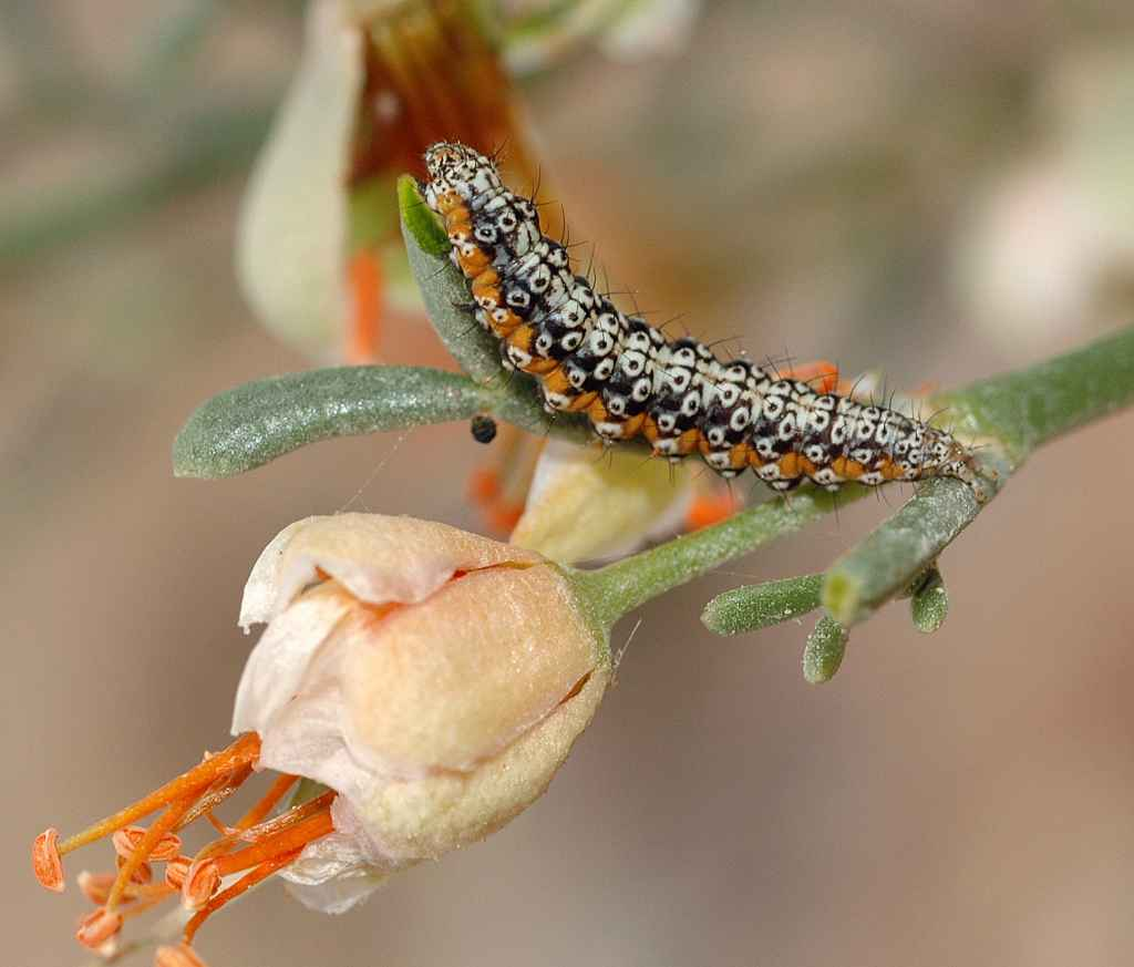 The caterpillars of Ustyurtia zygophyllivora have distinct warning coloration, an indication of their toxicity. Photo: Pavel Gorbunov.