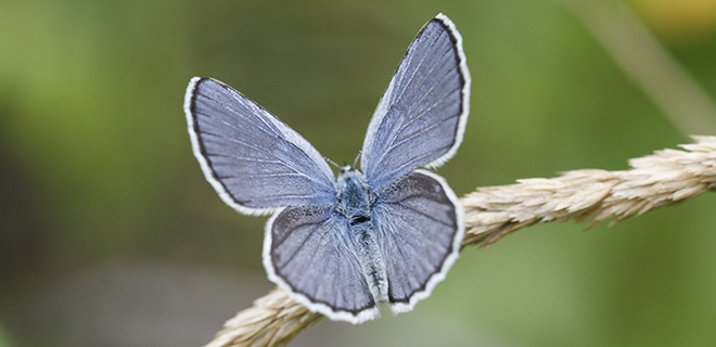 The threatened Karner blue butterfly lives in North America (Photo: