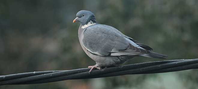 Finnish wood pigeons benefit climate warming (photo: Aleksi Lehikoinen)