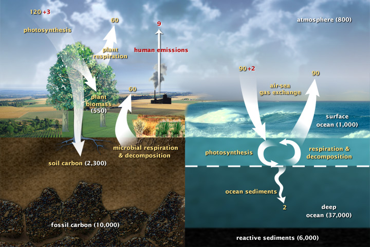 The carbon cycle (Wikipedia Commons, http://earthobservatory.nasa.gov/Features/CarbonCycle/)