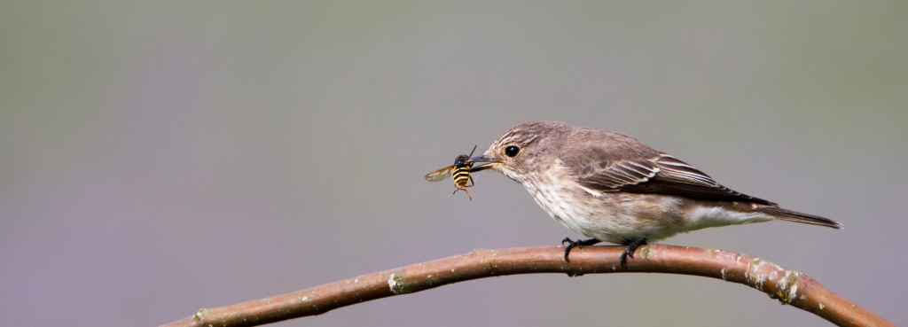 Insects are vital food sources for many birds and other insectivores. Studies have found that populations of insectivorous birds in Central European countries have declined dramatically, and a similar trend has also been observed in Finland. One of the reasons is the decline of insects due to the use of insecticides. The photo shows a spotted flycatcher that has caught a hoverfly. Photo: Pekka Malinen