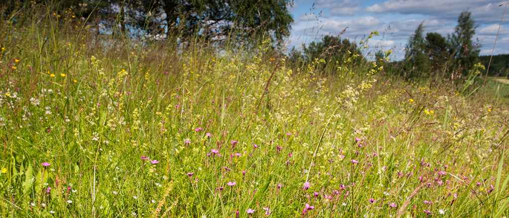 Insects prefer flower meadows to short-mown lawns with few species. Photo: Pekka Malinen