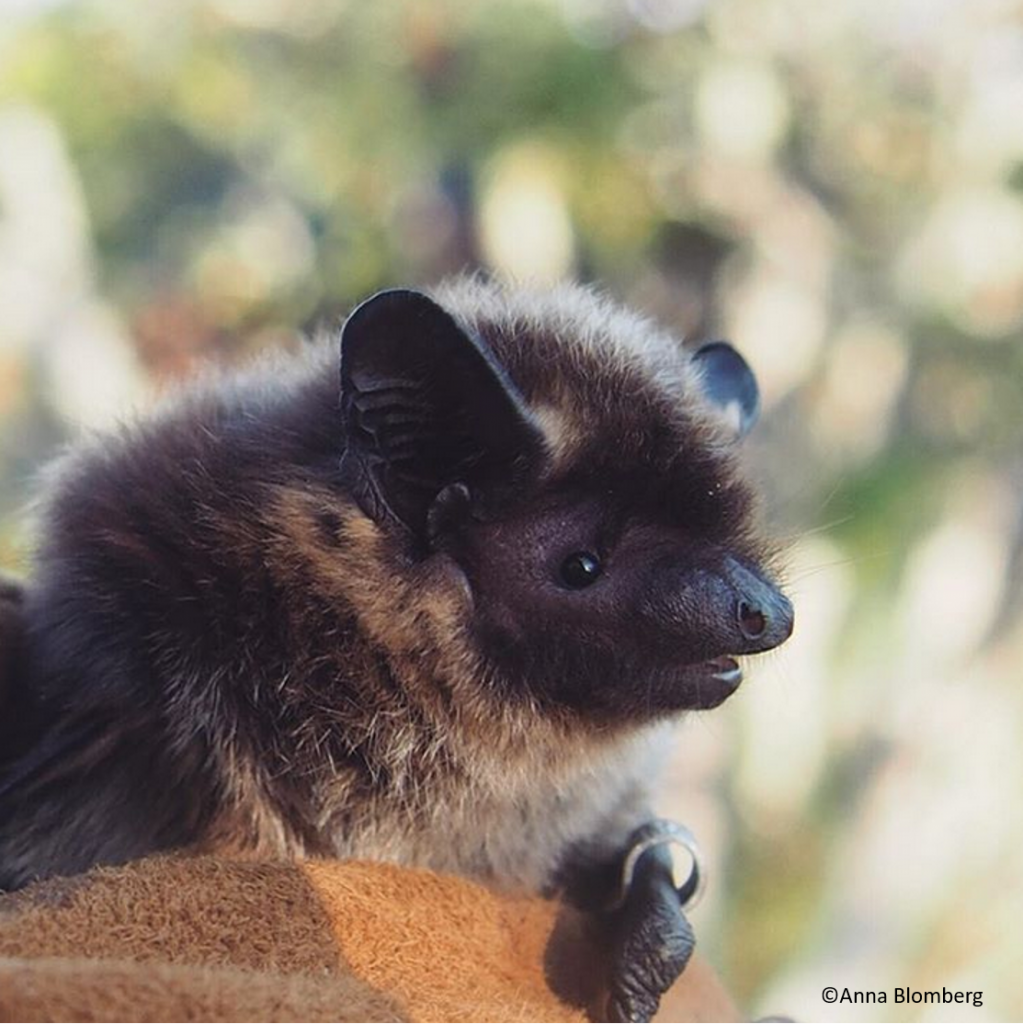 Northern bat is the most common bat species in Finland. Photo: Anna Blomberg