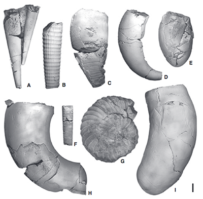 Morphological diversity of fossil cephalopod shells from the Late Ordovician of Central Sweden, 450 million years ago