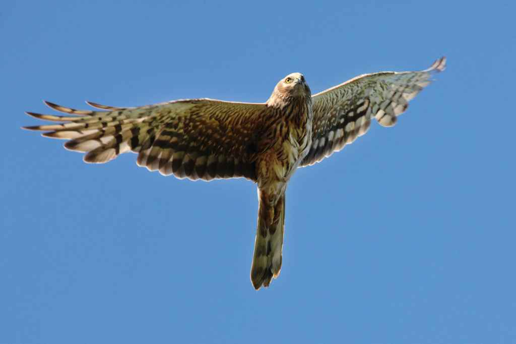 Letto the Pallid Harrier