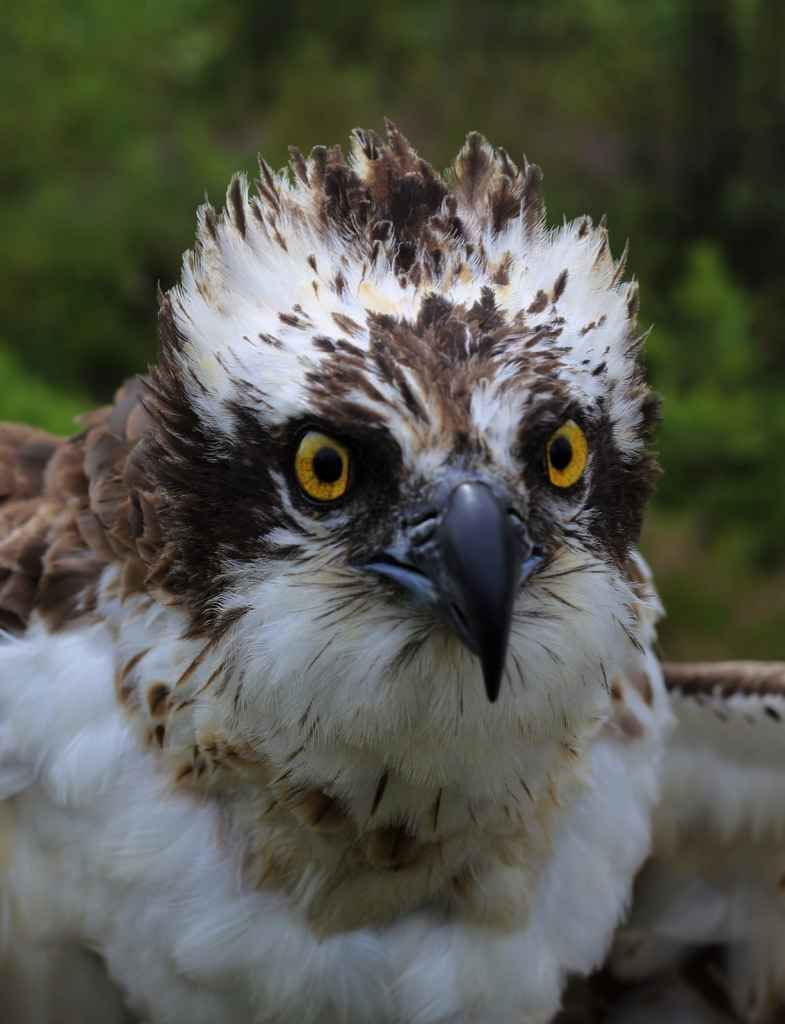 Kusti the Satellite Osprey
