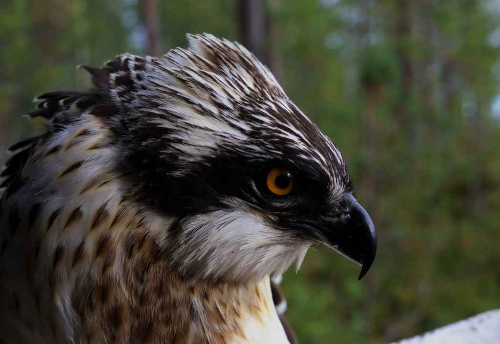 Tuisku the Satellite Osprey