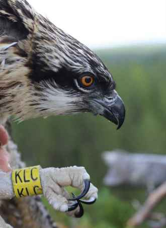 Helmi the Satellite Osprey