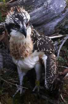 Kalle the Satellite Osprey